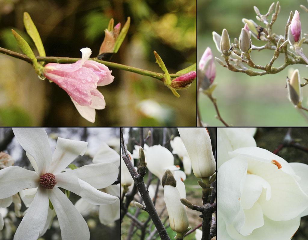 ароматные цветы магнолии