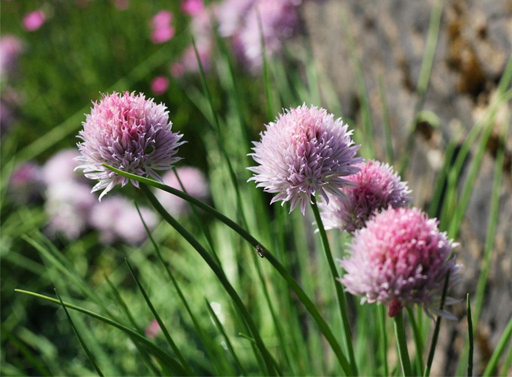 Лук-скорода или шнитт-лук (Allium schoenoprasum)