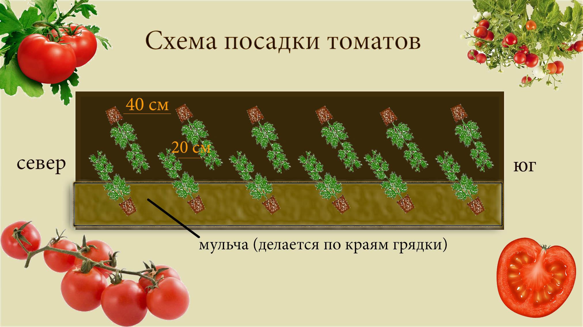 Перец болгарский схема посадки в открытый грунт