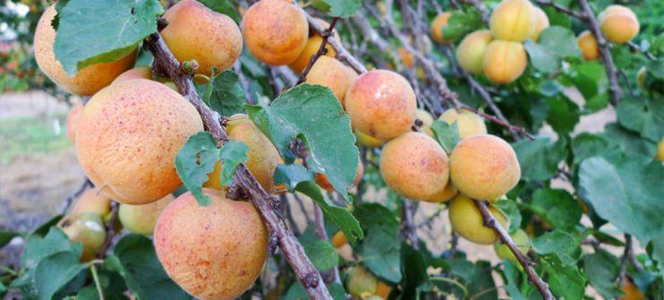 Выращивание абрикоса в тамбове 31
