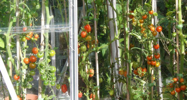 Выращивание томатов видео 8