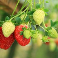 Клубника: выращивание и уход
