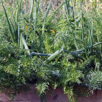 Луково-морковная грядка: посадка с осени