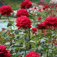 Окулировка роз
