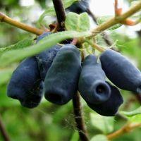 Жимолость садовая - первая ягодка в саду!