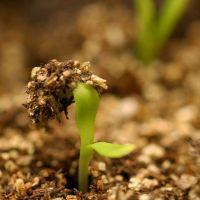 Выращиваем рассаду однолетников